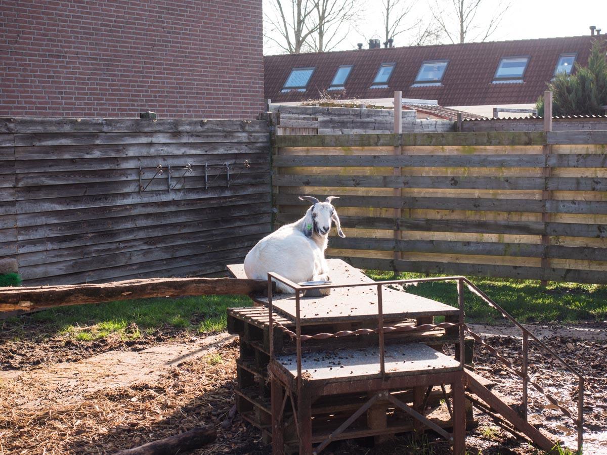 Geitjes in de achtertuin Almere Buiten